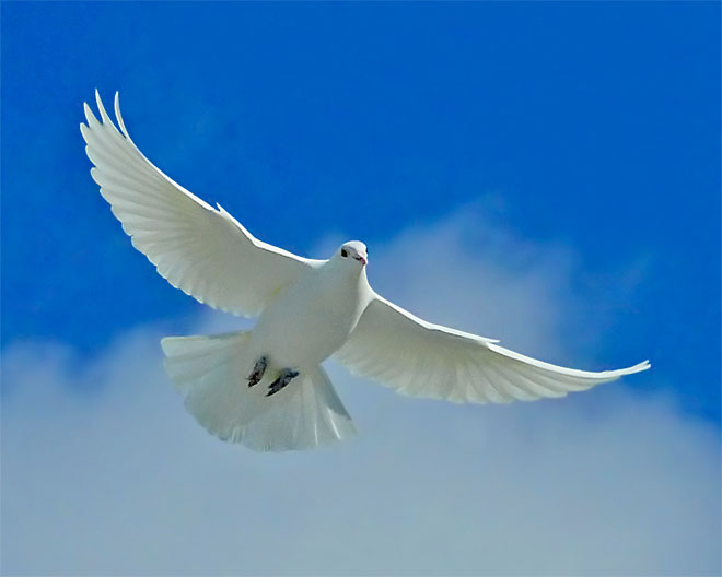 10  October 2012 white_dove_of_peace_m