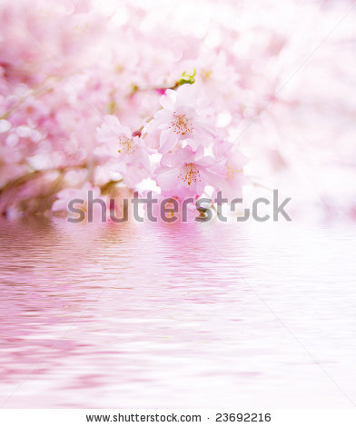 27 December 2012 stock-photo-spring-cherry-blossoms-on-pink-background-with-water-reflection-23692216