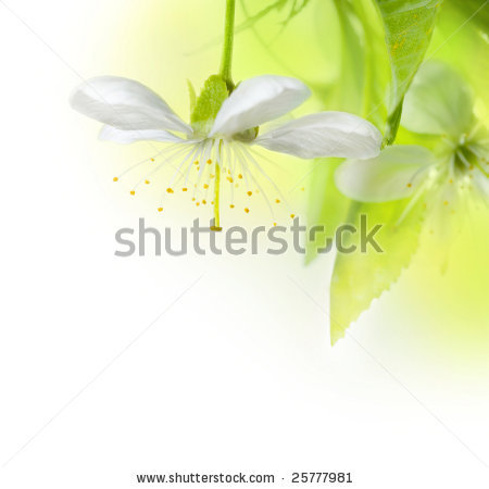 27 December 2012 stock-photo-spring-cherry-flowers
