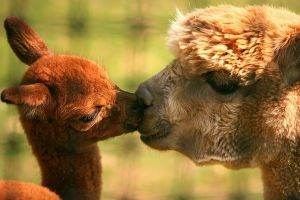 9 August 2013 alpacas-kiss