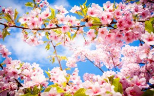 Cherry-Blossom-Spring-Flower-1200x750