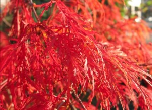 700_japanese-maple-orangeola