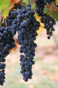 Wine_grapes03