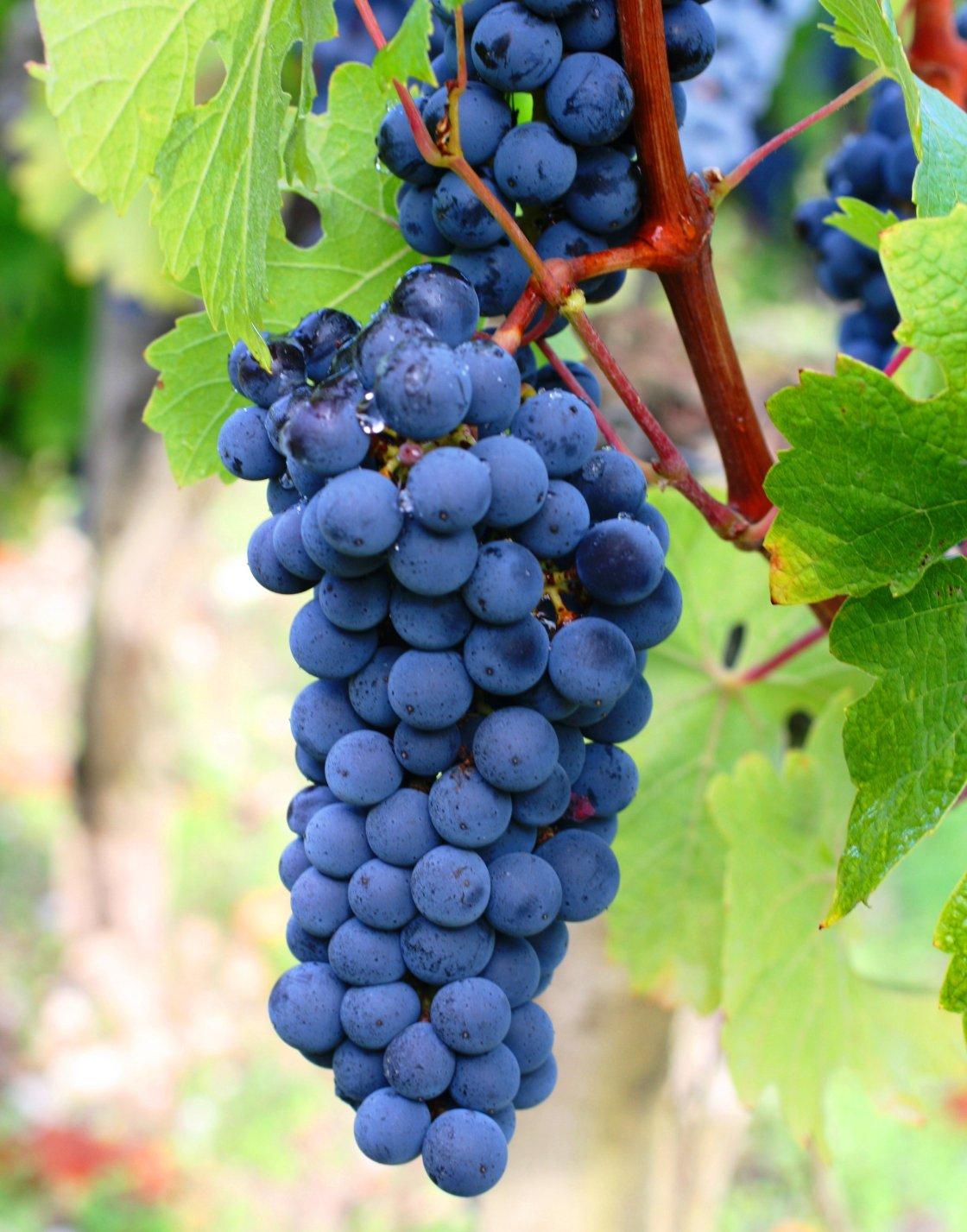 Carmenere-Wine-Grapes